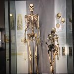 The skeleton of Charles Byrne in comparison to an average hight skeleton.